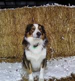 Зимнее фото английской овчарки