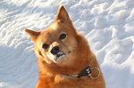 Зимнее фото финского шпица