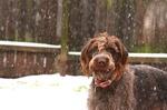 Зимнее фото собаки дратхаар