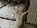 Зимнее фото корейской собаки Хиндо