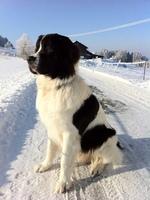Зимнее фото собаки ландсир