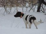 Зимнее фото малой мюнстерлендской легавой