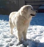 Зимнее фото мареммо-абруццкой овчарки