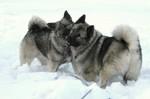 Зимнее фото норвежских элкхаундов