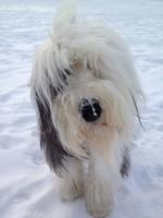Зимнее фото бобтейла