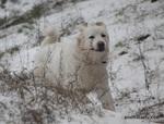 Зимнее фото польской подгалянской овчарки