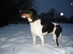 Зимнее фото швейцарской гончей