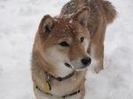 Зимнее фото собаки Сиба-ину