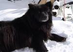 Зимнее фото шведского лаппхунда