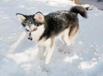 Зимнее фото аляскинского кли-кая