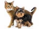 Йоркширский терьер и кошка