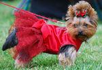 Йоркширский терьер в красном платье