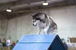 Молодой аляскинский маламут на выставке