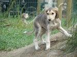 Молодая собака салюки